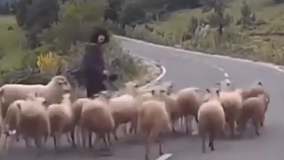 Goats Have Right of Way Here